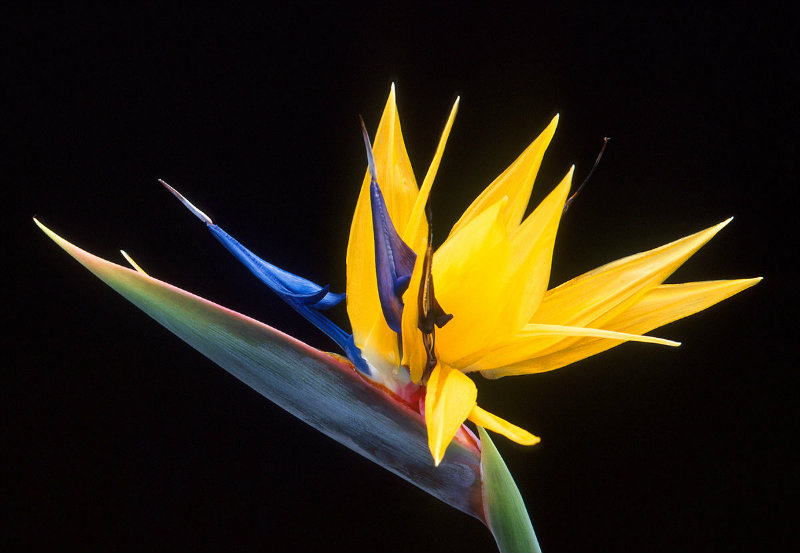flower inspiration The Flower Inspiration Behind the Dazzling Strelitzia Door Pull 1200px Strelitzia larger